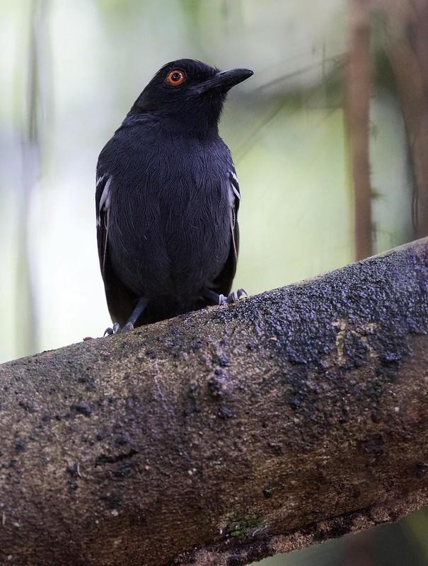 Black-tailed Antbird_Myrmoborus melanurus_Ascanio_Amazon Cruise_DZ3A7374