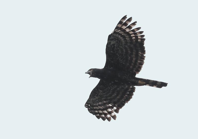 Black Hawk-Eagle_Spizaetus tyrannus_Ascanio_Amazon Cruise_DZ3A8804