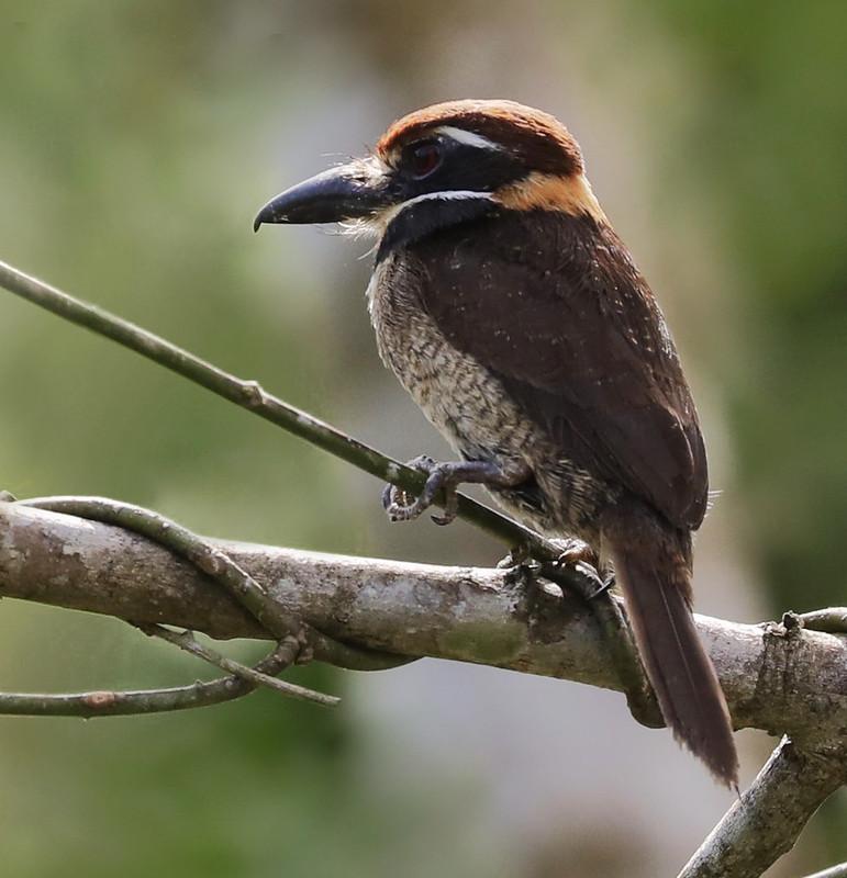 Chestnut-capped Puffbird_Bucco macrodactylus_Ascanio_Amazon Cruise_DZ3A7770