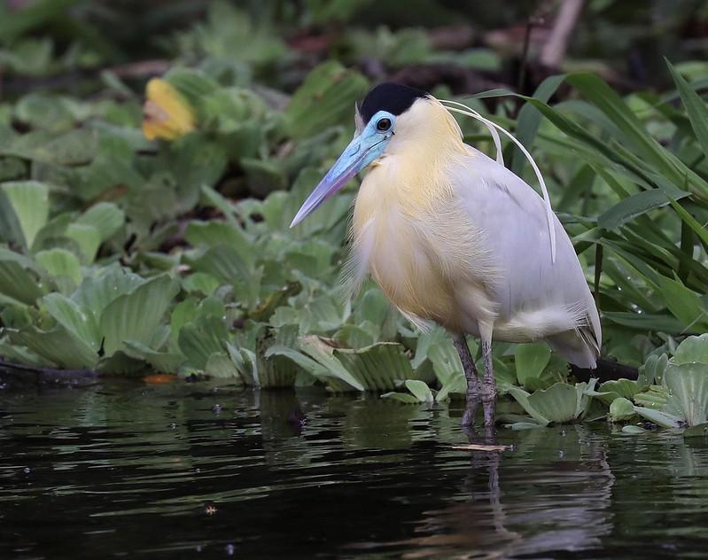 Capped Heron_Pilherodius pileatus_Ascanio_Amazon Cruise_DZ3A8730