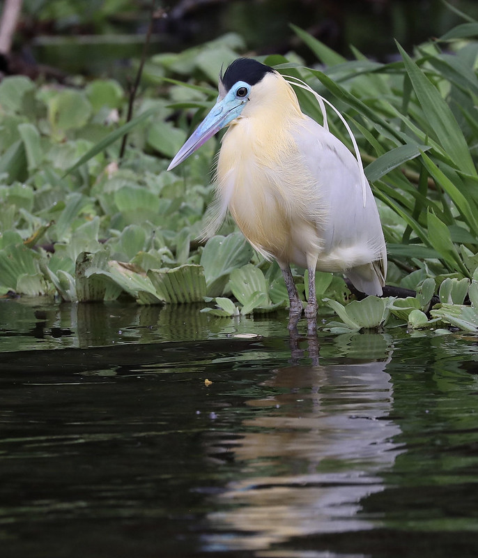 Capped Heron_Pilherodius pileatus_Amazon_Ascanio_DZ3A8722