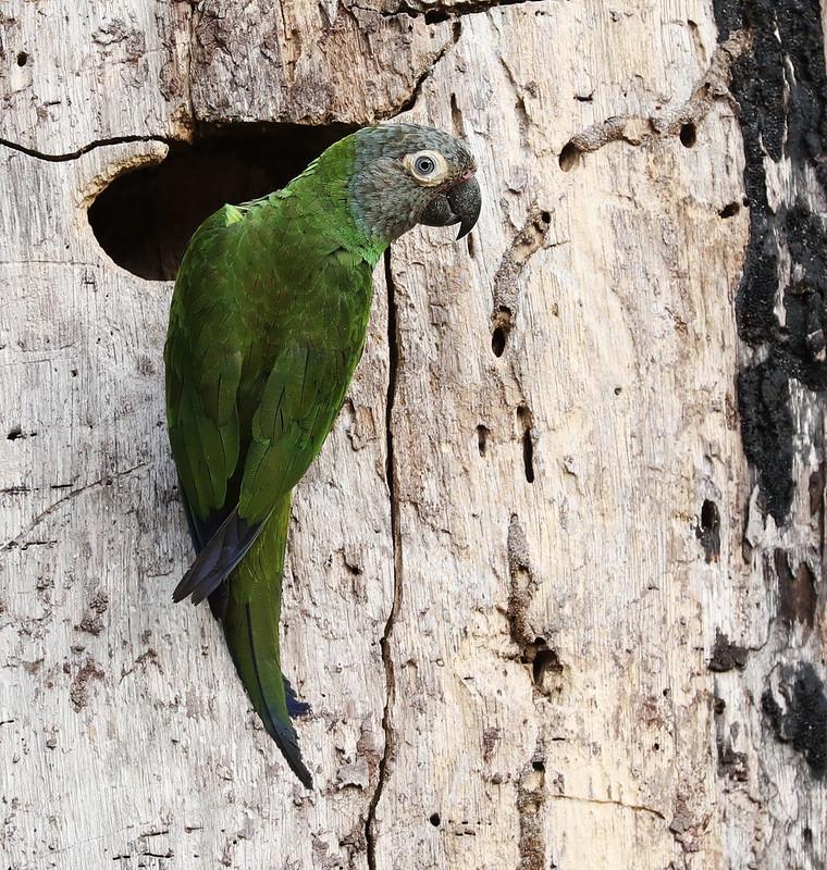 Dusky-headed Parakeet_Aratinga weddellii_Ascanio_Amazon_DZ3A7587