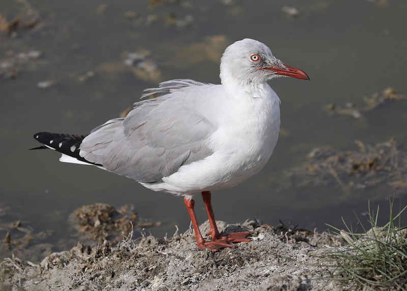 Gray-hooded Gull_Chroicocephalus cirrocephalus_Ascanio_Lima Day_DZ3A7113
