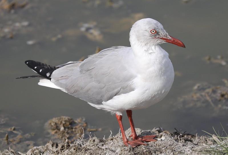 Gray-hooded Gull_Chroicocephalus cirrocephalus_Ascanio_Lima Day_DZ3A7104