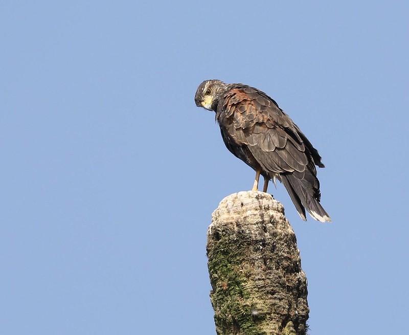 Harri's Hawk_Parabuteo unicinctus_Ascanio_Lima Day_xDZ3A6707