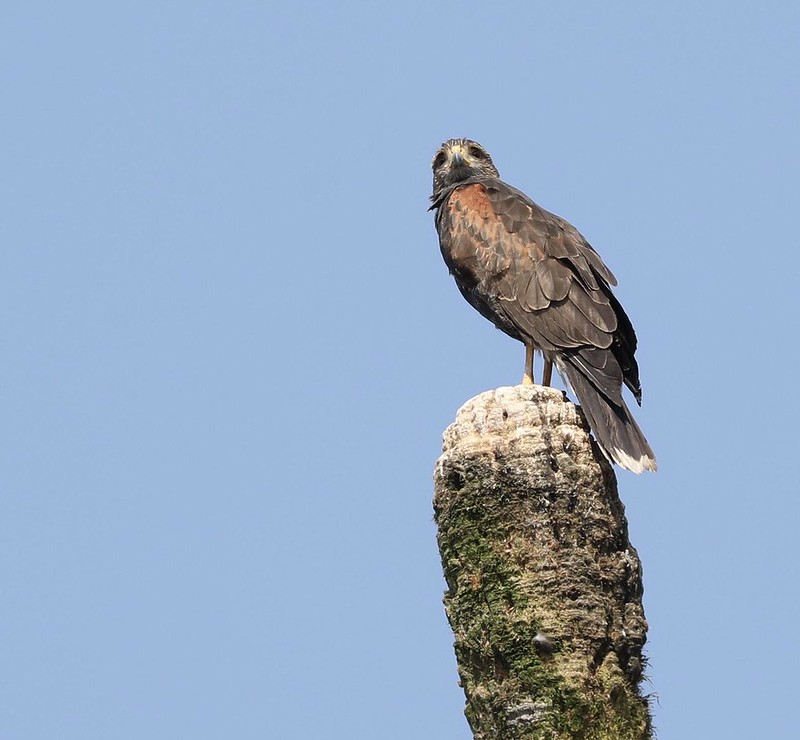 Harri's Hawk_Parabuteo unicinctus_Ascanio_Lima Day_DZ3A6713