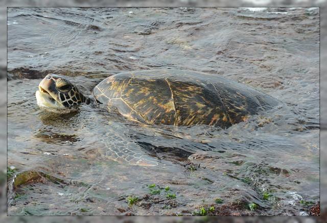 [] Pacific Green Sea Turtle ~ Oahu North Shore []