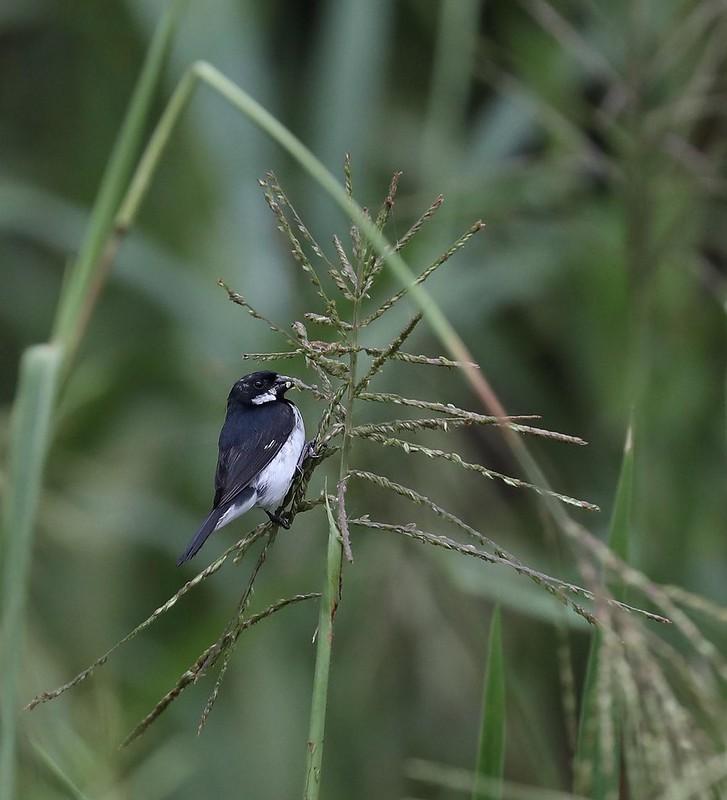 Lesson's Seedeater_Sporophila bouvronides_Ascanio_Amazon Cruise_DZ3A7300