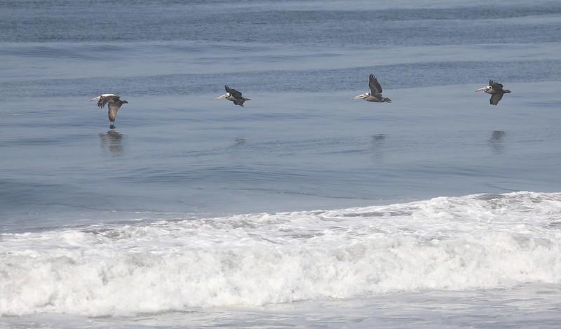Peruvian Pelican_Pelecanus thagus_Ascanio_Lima Day_DZ3A6694