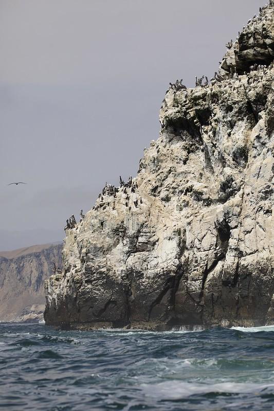 Peruvian Pelican_Pelecanus thagus_Ascanio_Lima Day_DZ3A6892
