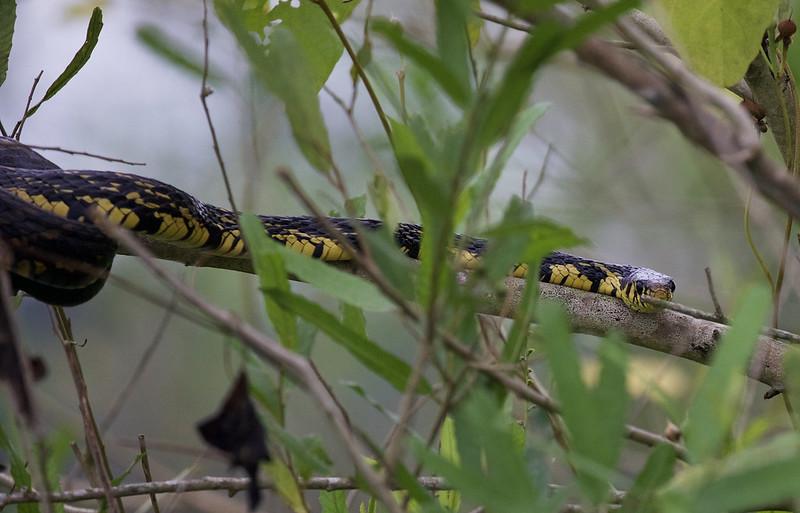 Tiger Snake_Spilotes pullatus_Ascanio_Amazon Cruise_DZ3A8867