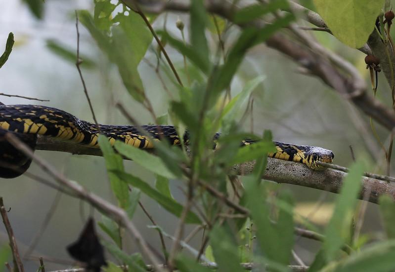 Tiger Snake_Spilotes pullatus_Ascanio_Amazon Cruise_DZ3A8862
