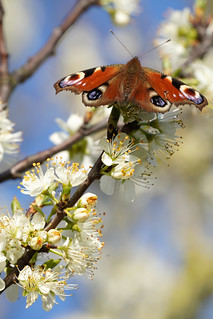 Peacock butterfly and early spring blossom at Elmley NNR