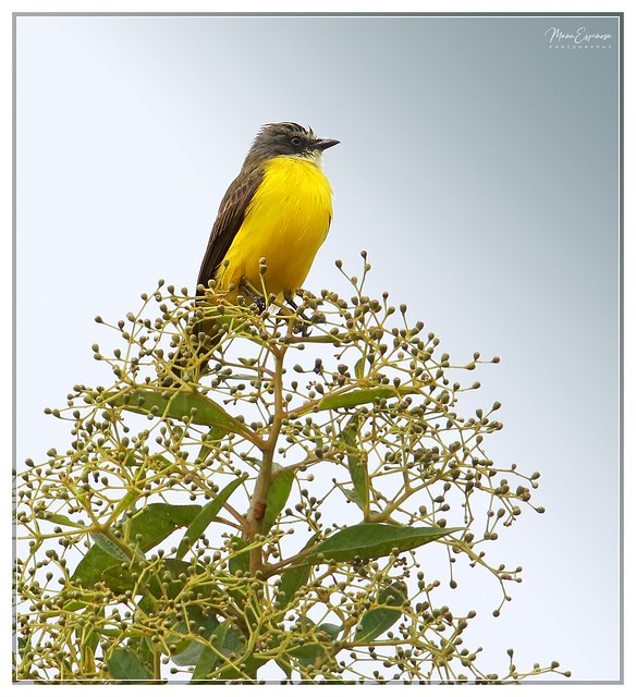 Bienteveo Cabecigris, Myiozetetes granadensis, Grey-capped Flycatcher. Cumbaratza, Zamora, Ecuador