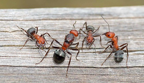 A Gathering Of Giant Ants