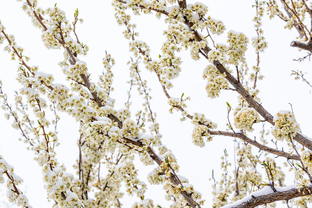 Plum Blossoms in Winter - Explore