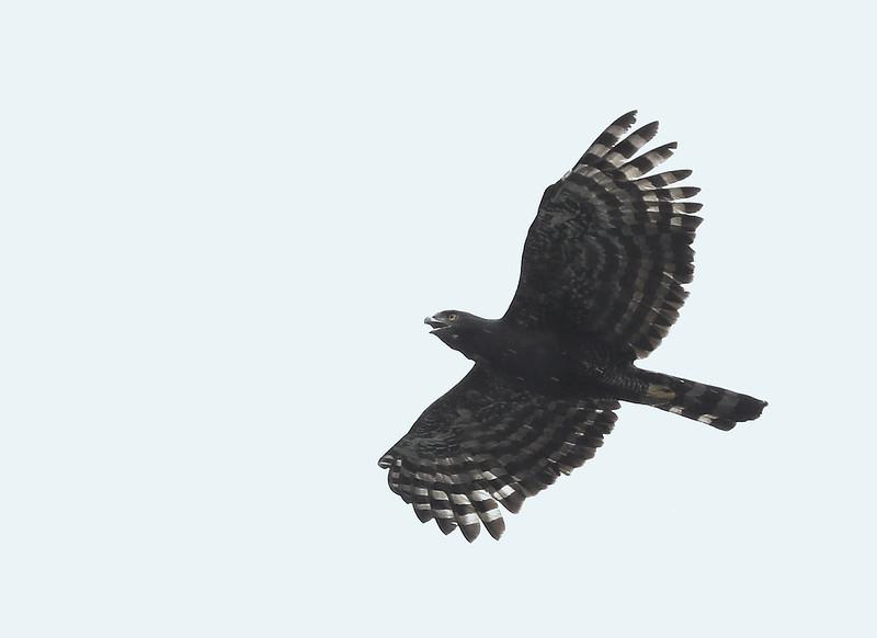 Black Hawk-Eagle_Spizaetus tyrannus_Ascanio_Amazon Cruise_DZ3A8803