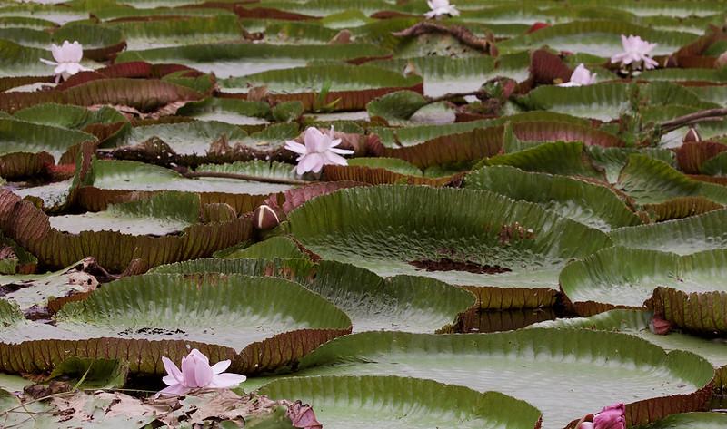 Amazon Water Lily_Victoria amazonica_Ascanio_Amazon Cruise_DZ3A8257
