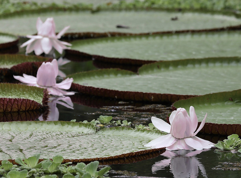 Amazon Water Lily_Victoria amazonica_Ascanio_Amazon Cruise_ DZ3A8232