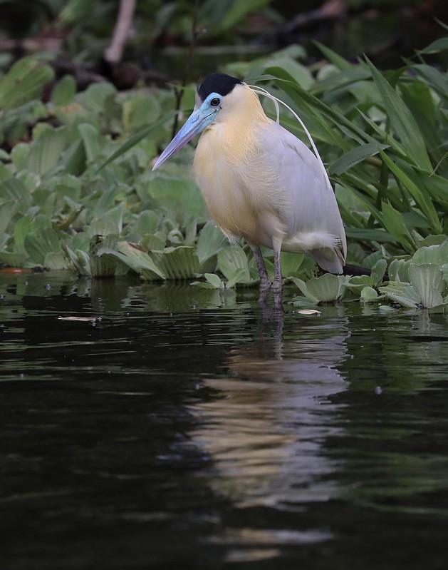 Capped Heron_Pilherodius pileatus_Ascanio_Amazon Cruise_DZ3A8727