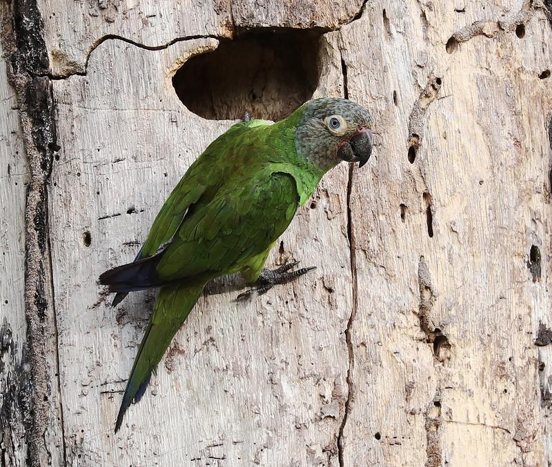 Dusky-headed Parakeet_Aratinga weddellii_Ascanio_Amazon_DZ3A7576