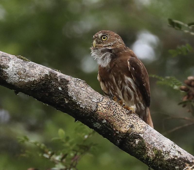 Ferruginous Pygmy-Owl_Glaucidium brasilianum_Ascanio_Amazon Cruise_DZ3A8450