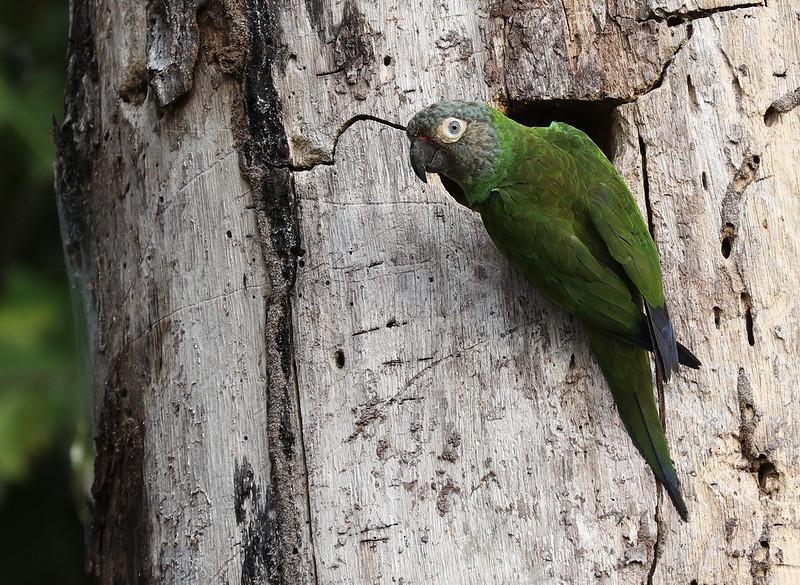 Dusky-headed Parakeet_Aratinga weddellii_Ascanio_Amazon_DZ3A7583