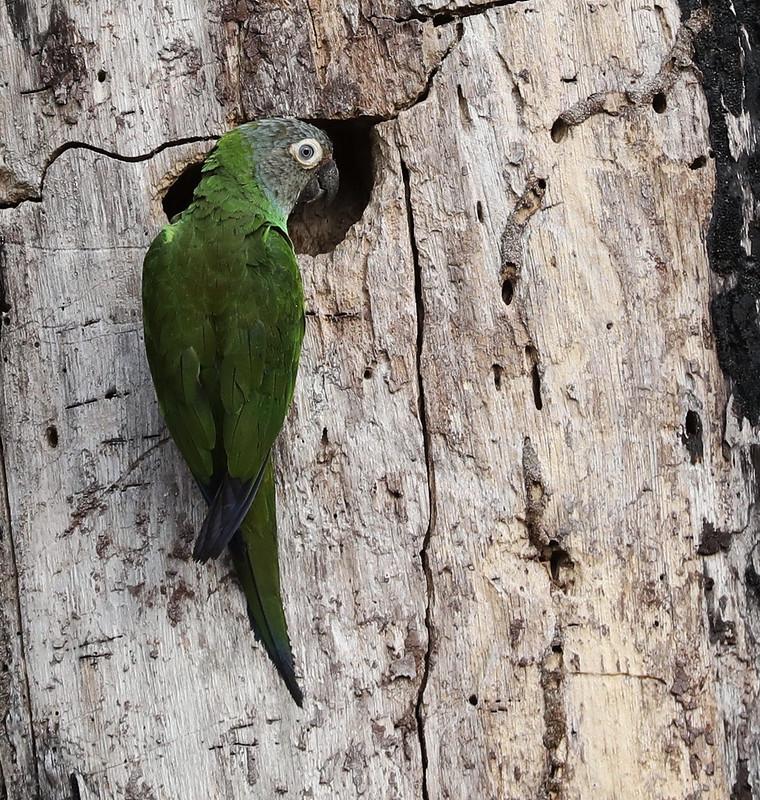 Dusky-headed Parakeet_Aratinga weddellii_Ascanio_Amazon_DZ3A7544