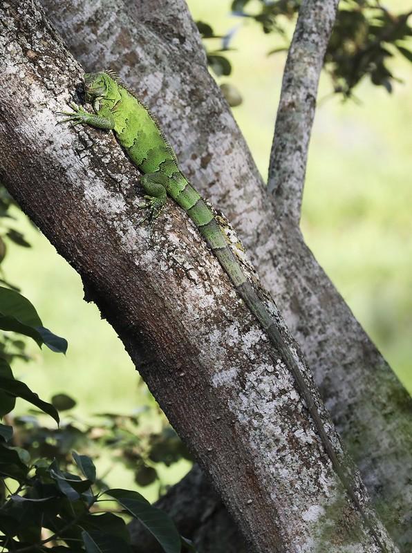 Green Iguana_Iguana iguana_Ascanio_Amazon Cruise_DZ3A7223