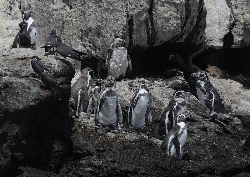 Humboldt Penguin_Spheniscus humboldti_Ascanio_Lima Day_DZ3A6871