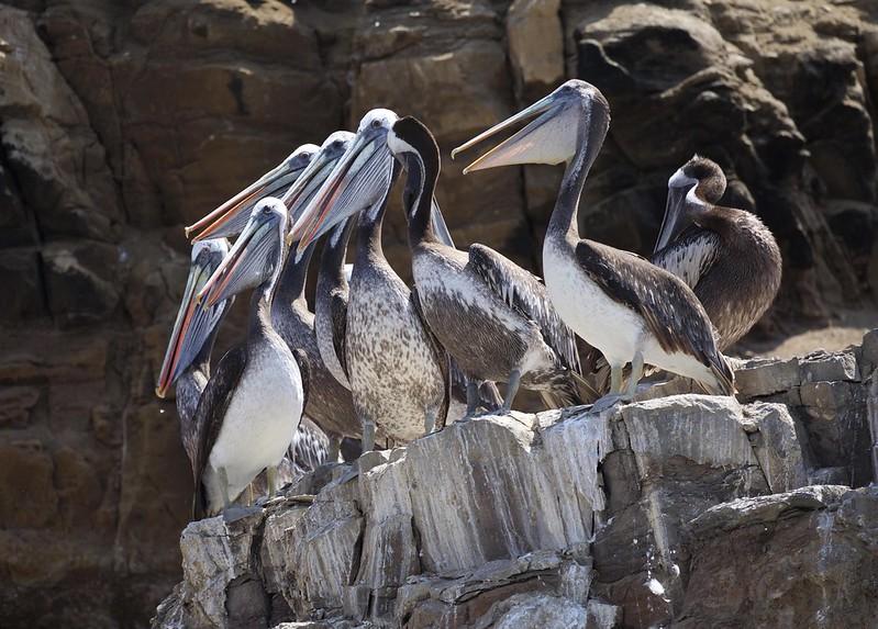 Peruvian Pelican_Pelecanus thagus_Ascanio_Lima Day_DZ3A6826