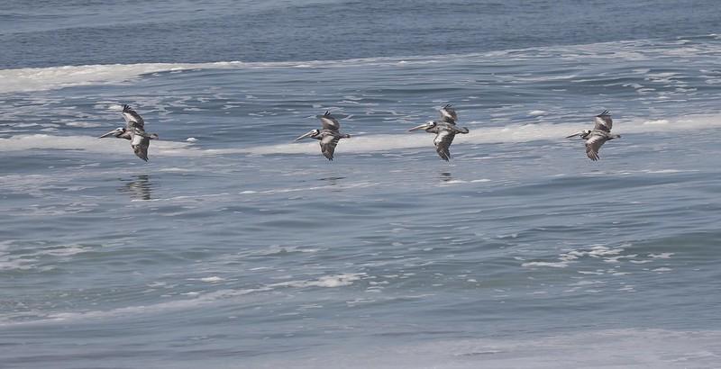 Peruvian Pelican_Pelecanus thagus_Ascanio_Lima Day_DZ3A6695