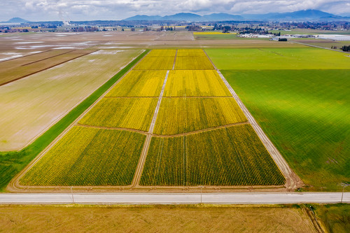 skagitvalley skagit valley flowers daffodils colorful road yellow farm farmland fields mtvernon agriculture agricultural farming washington washingtonstate westernwashington skagitcounty landscape aerial drone above edmundlowephotography edmundlowe edlowe pacificnorthwest pugetsound spring springtime america usa allmyphotographsare©copyrightedandallrightsreservednoneofthesephotosmaybereproducedandorusedinanyformofpublicationprintortheinternetwithoutmywrittenpermission