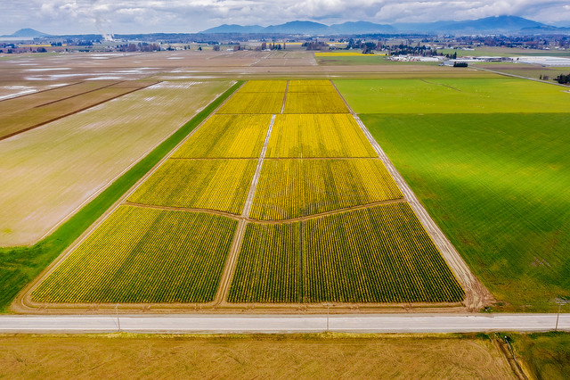 Daffodil Field, Mt. Vernon, Washington