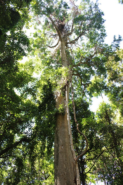 Citronella Citronella Moorei A Large Tree At Mount Keira Flickr