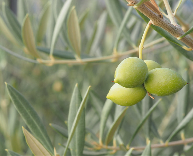 Olive on Olive Tree Spain Andalusia © Olive am Olivenbaum Spanien Andalusien © Aceituna Andalucía ©