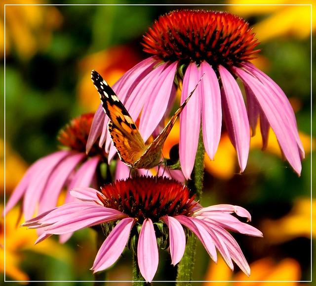 Motyl i jeżówka.