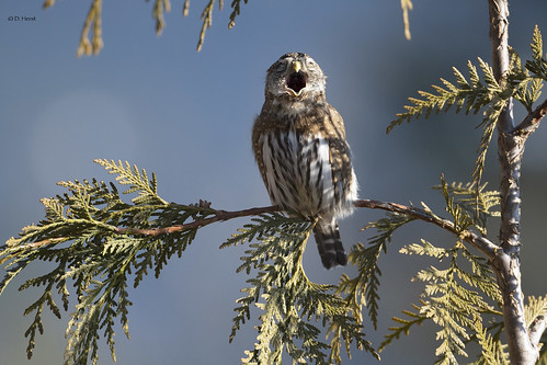 Northery Pygmy Owl
