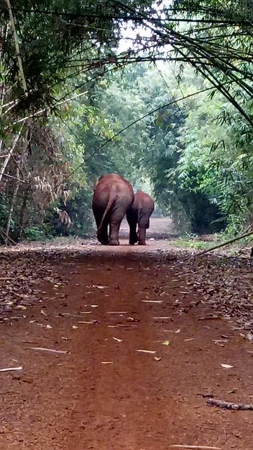 Asian elephants strolling in the Quang Nam Elephant Reserve