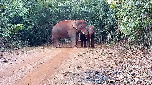 Asian elephants in Quang Nam Elephant Reserve