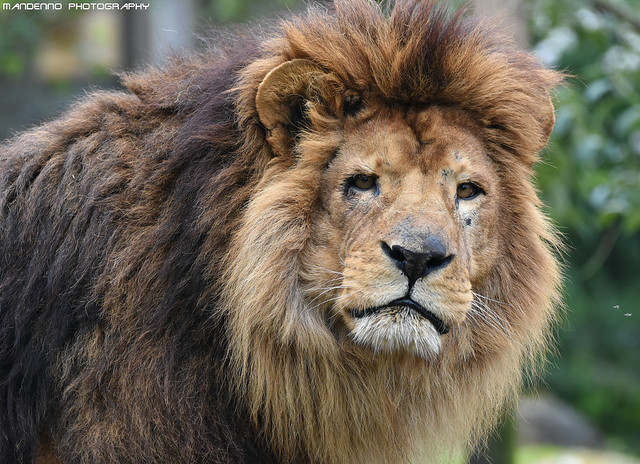 African lion - Zoo Amneville