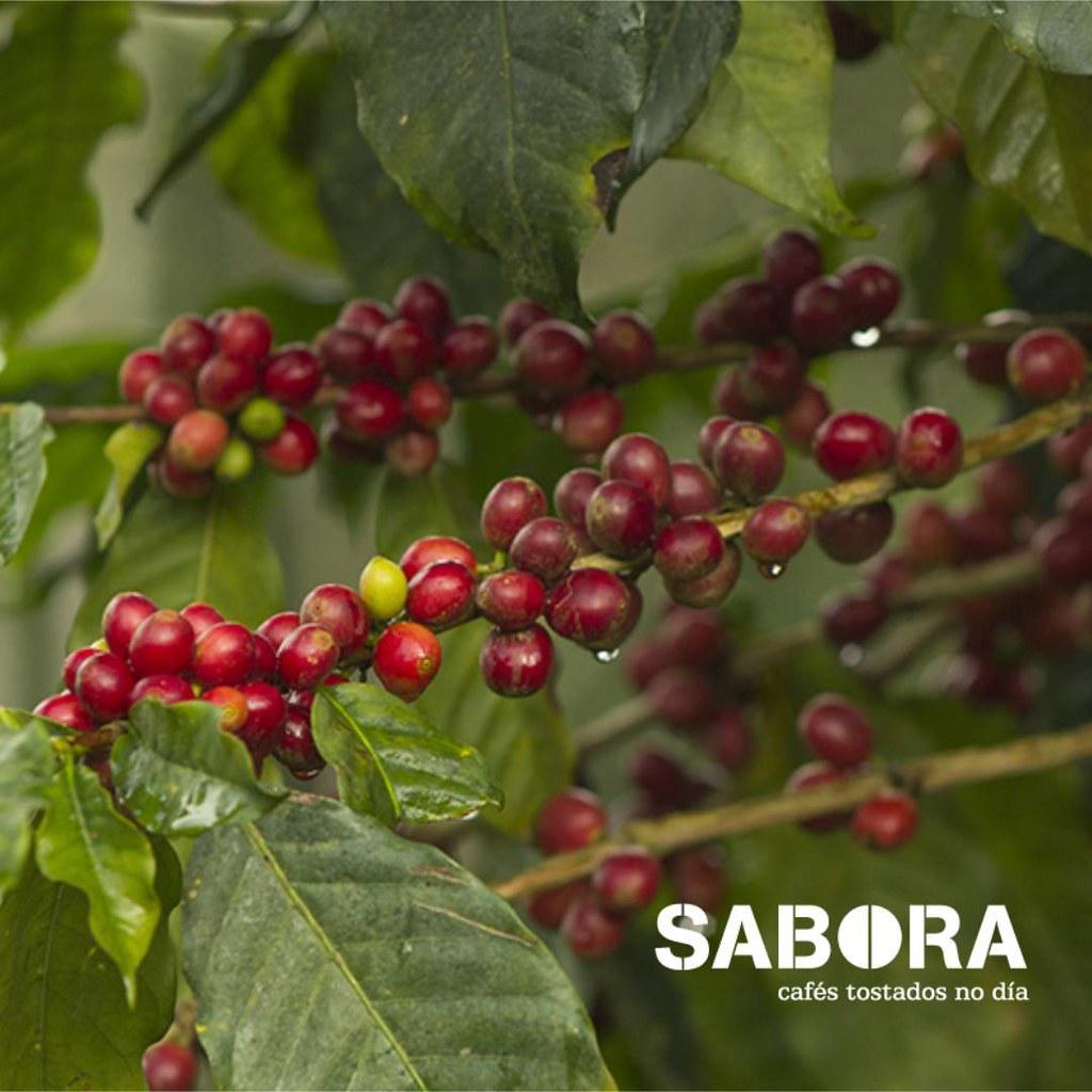 Cerezas de café de la variedad caturra