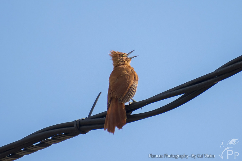 Caatinga Cacholote singing on the wire