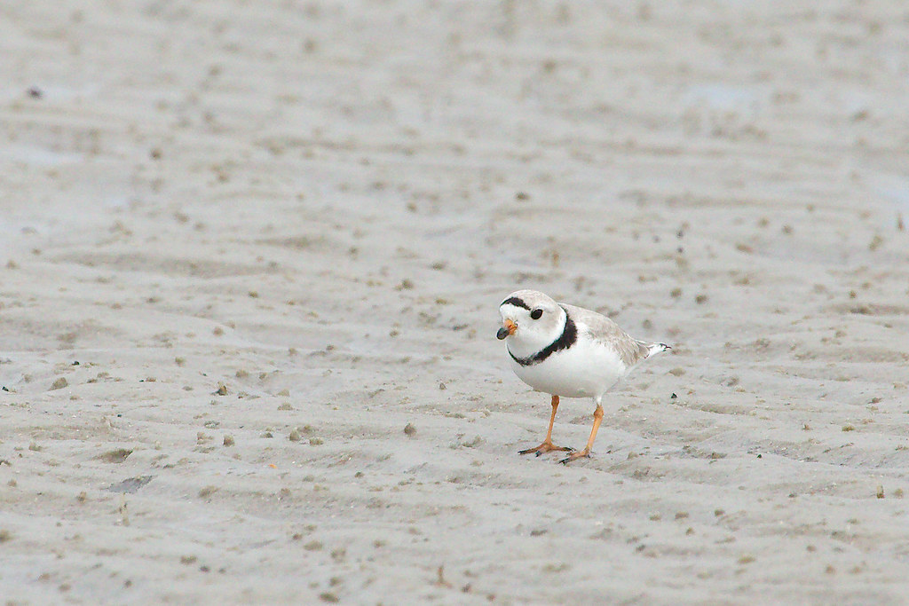 PipingPlover3