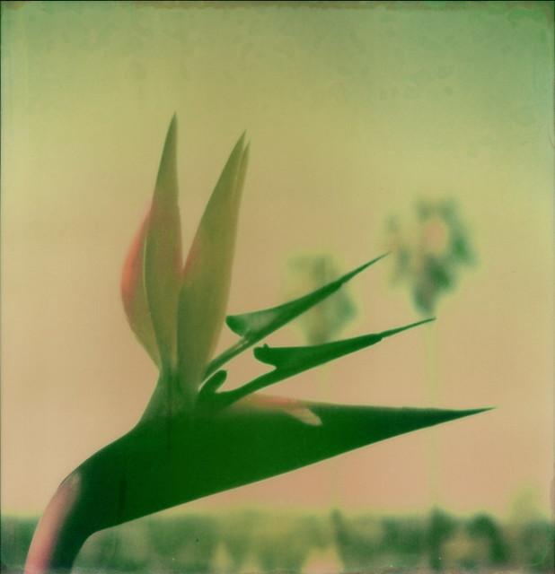 Bird Of Paradise 2E