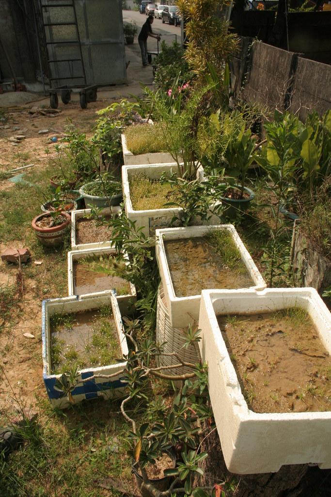 土地主人於濕地旁擺放數個保麗龍箱,栽植許多小田島氏榖精,但生育地內幾乎絕跡。圖片來源:王偉聿