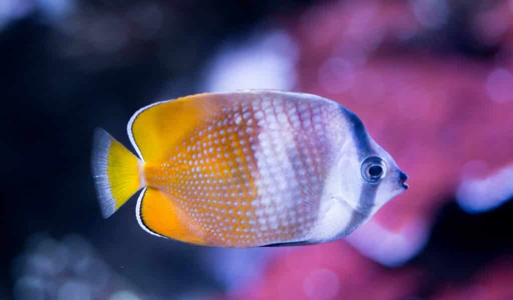 les-microplastiques-produisent-des-anévrismes-chez-les-poissons