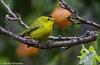 1-El chipe coroninegro (cardelina pusilla), es una especie de pequeña ave paseriforme de la familia de los parúlidos. Es una especie migratoria que anida en vastas zonas de Alaska, Canadá y Estados Unidos, e inverna en Mexico y Ameica Central by Cimarrón Mayor 18,000.000. VISITAS GRACIAS
