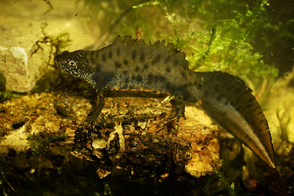 Triturus cristatus | Great crested newt in France | Alexandre Roux | Flickr