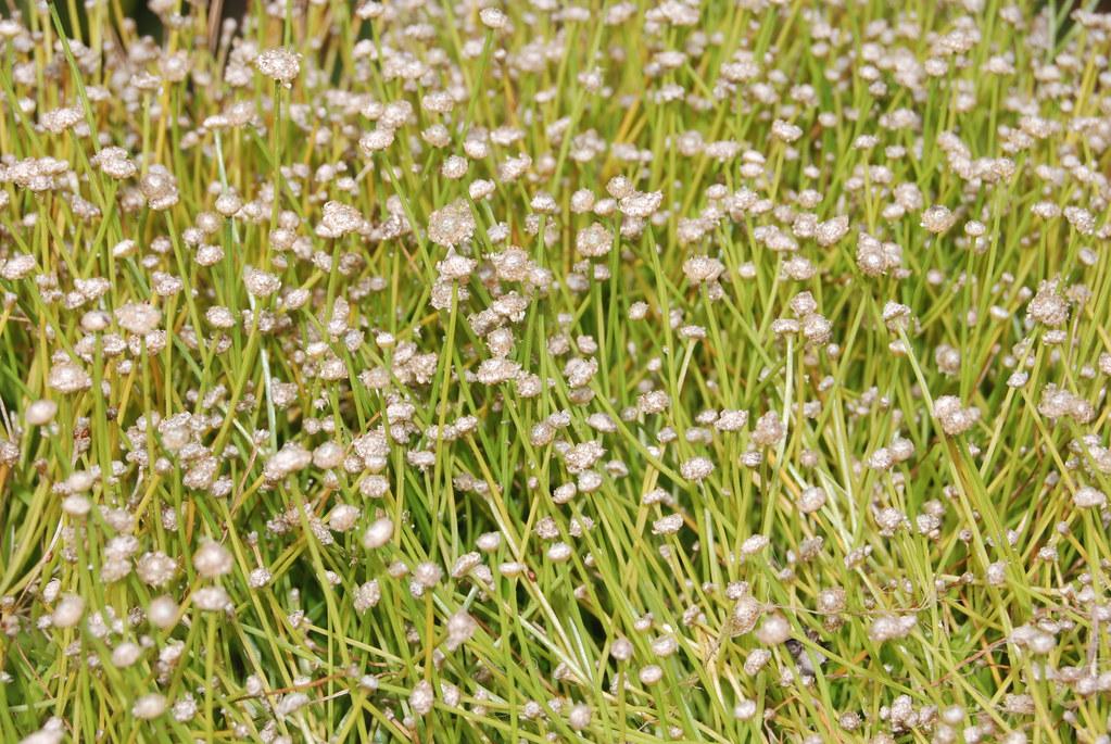 成群的小田島氏榖精,開花時多數雪白如珍珠般的頭狀花序自花鞘中延長而出,將草地裝飾的特別醒目,如撒滿珍珠般的草墊,然此一景緻已無法在原棲地見到。圖片來源:王偉聿
